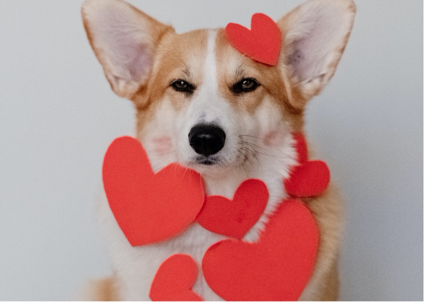 Dogs Valentines day